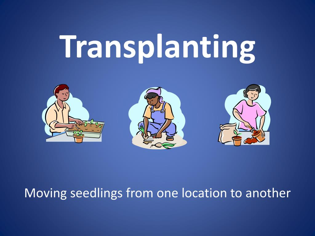 transplanting l.