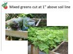 mixed greens cut at 1 above soil line