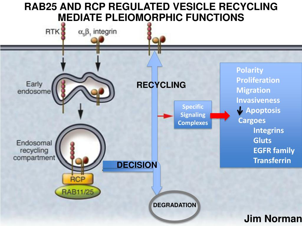 RAB25 AND RCP REGULATED VESICLE RECYCLING MEDIATE PLEIOMORPHIC FUNCTIONS