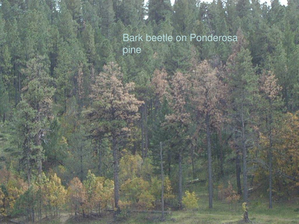 Bark beetle on Ponderosa pine