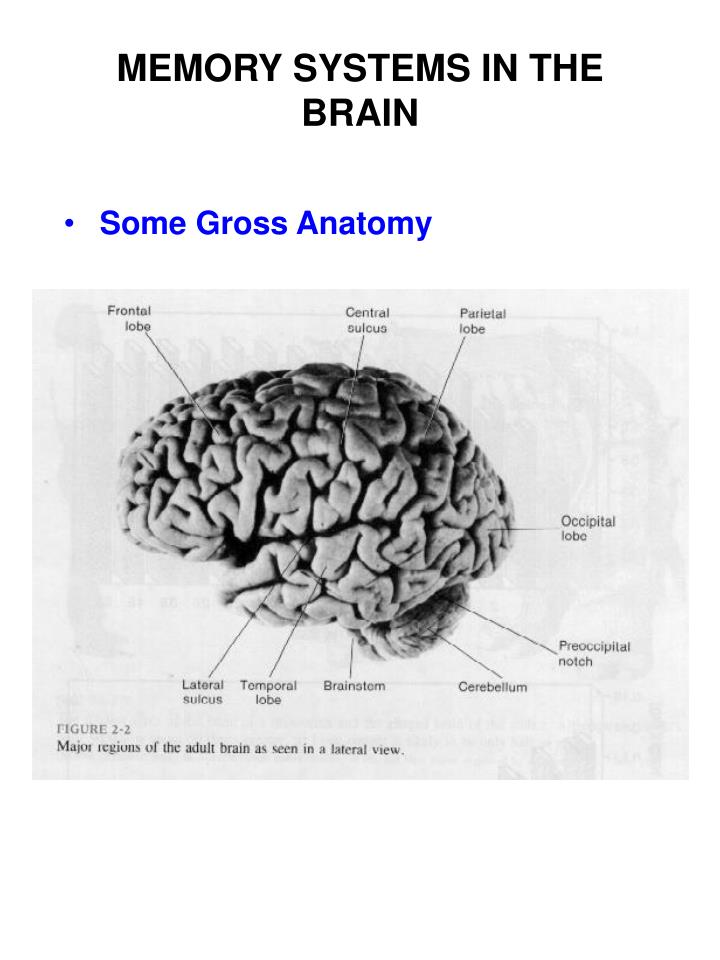 Ppt Memory Systems In The Brain Powerpoint Presentation Id601739