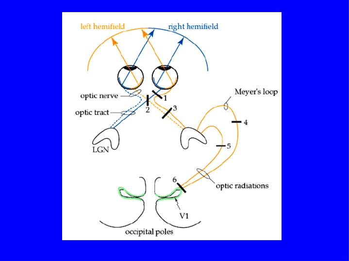 Relazioni tra il sistema visivo ed il sistema posturale