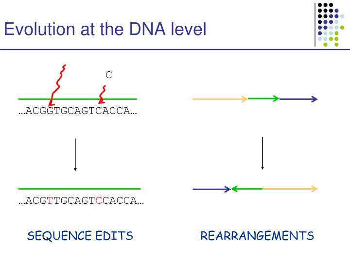 Evolution at the dna level