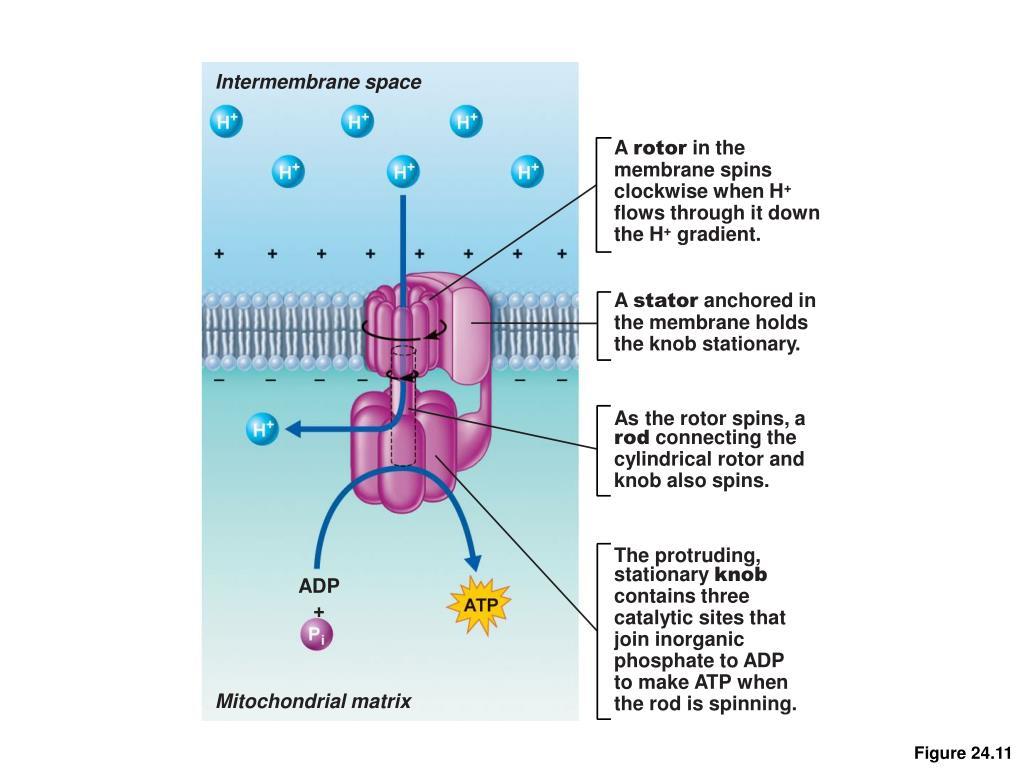 Intermembrane space