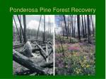 ponderosa pine forest recovery