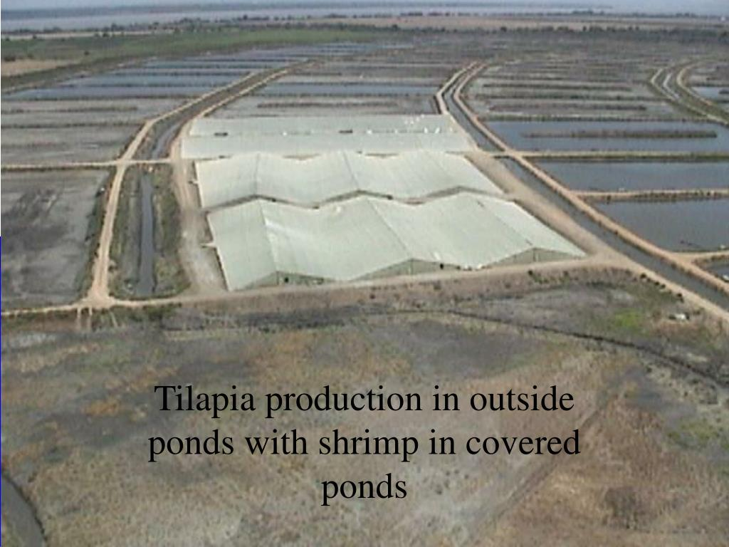 Tilapia production in outside ponds with shrimp in covered ponds