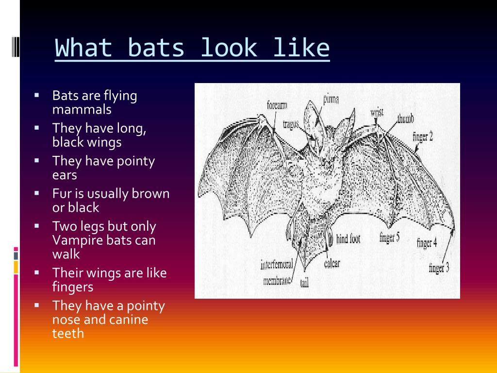 What bats look like