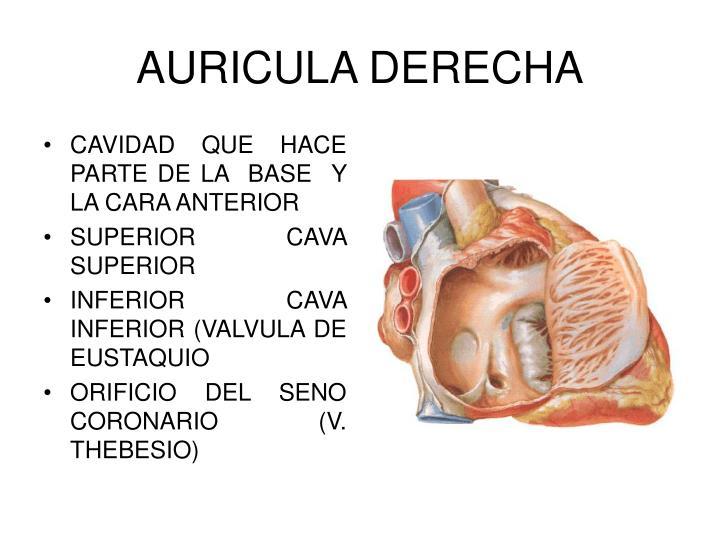 Excelente Función De La Aurícula Derecha Molde - Anatomía de Las ...