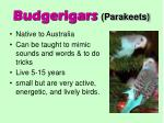 budgerigars parakeets