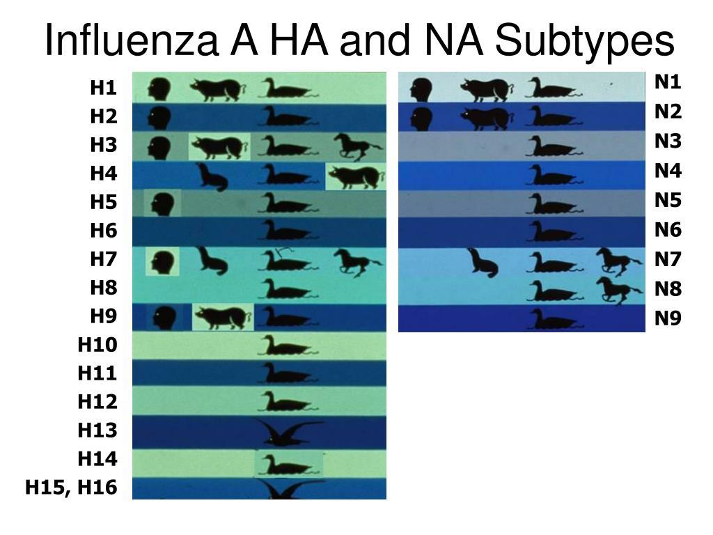 Influenza A HA and NA Subtypes