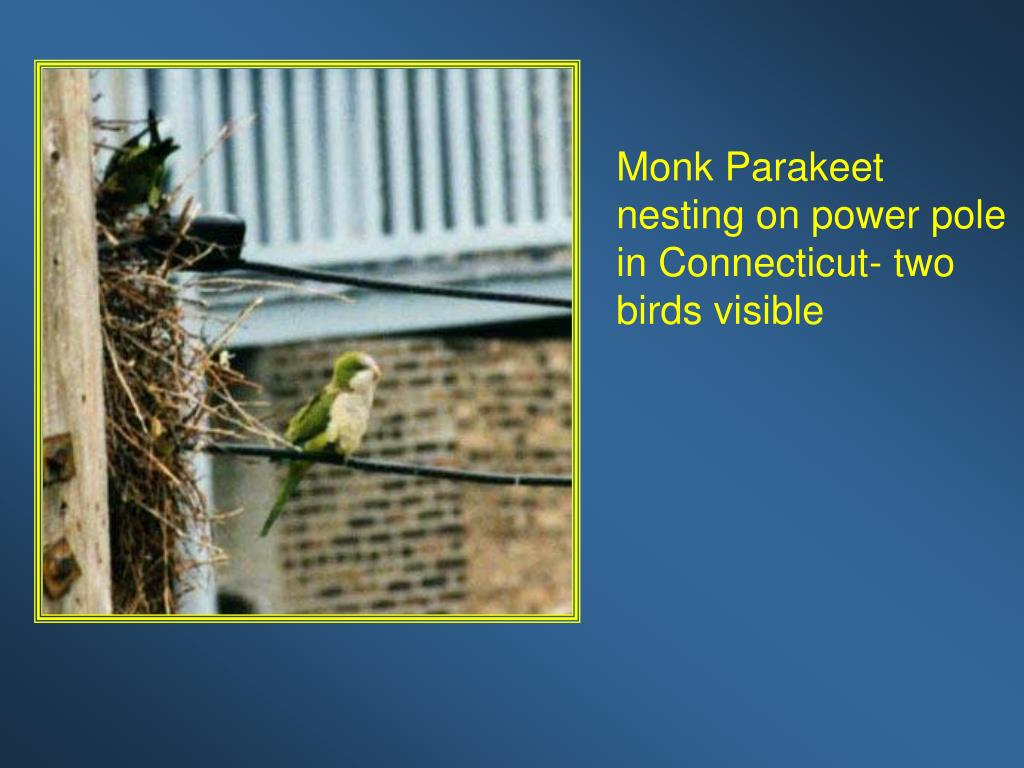 Monk Parakeet nesting on power pole in Connecticut- two birds visible