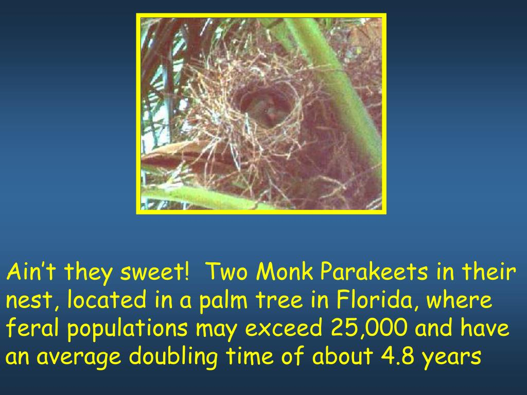 Ain't they sweet!  Two Monk Parakeets in their nest, located in a palm tree in Florida, where feral populations may exceed 25,000 and have an average doubling time of about 4.8 years