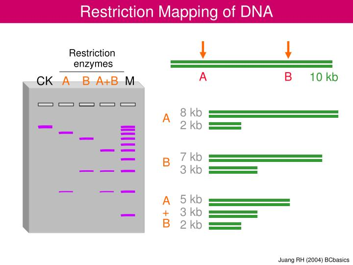 restriction enzyme analysis of dna essay Applications of vectors and restriction enzymes in recombinant dna 1 introduction recombinant dna technology can be defined as dna molecules produced by joining segment derived from different biological sources (mullis, 1990.