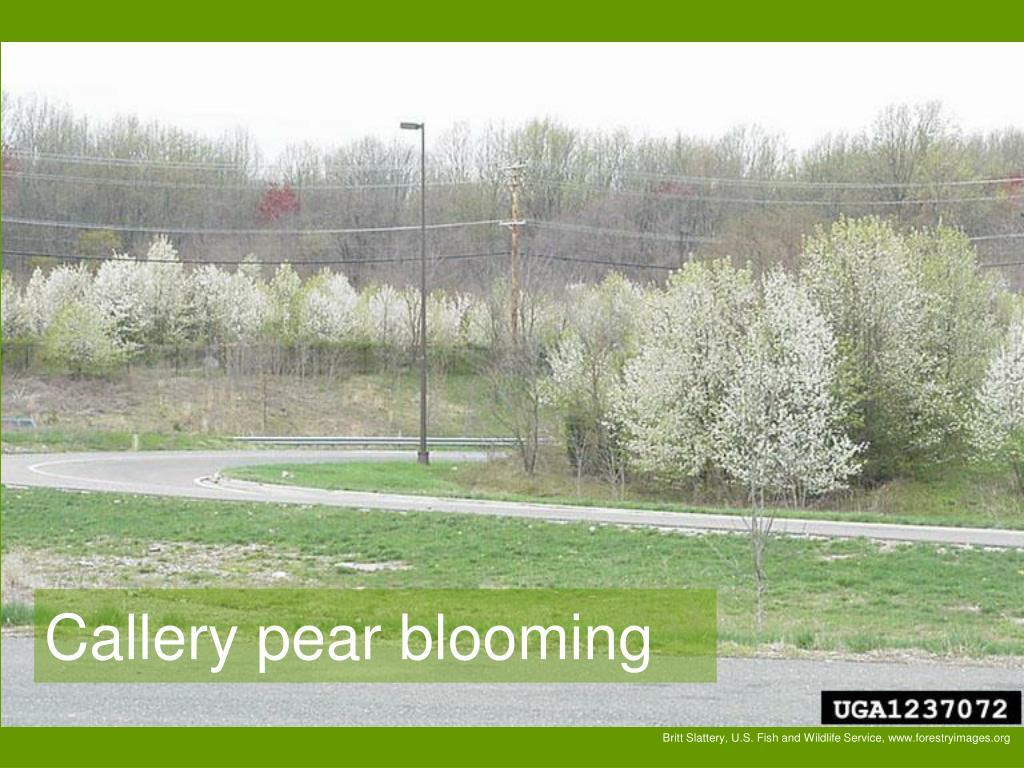 Callery pear blooming