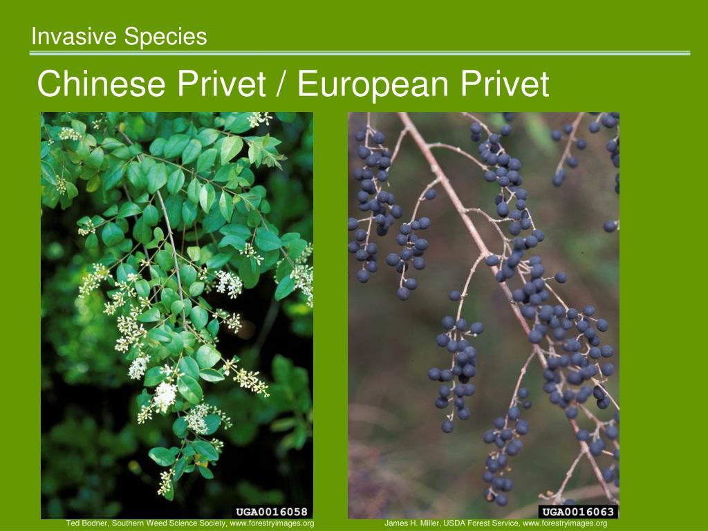 Chinese Privet / European Privet