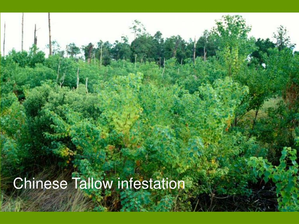 Chinese Tallow infestation
