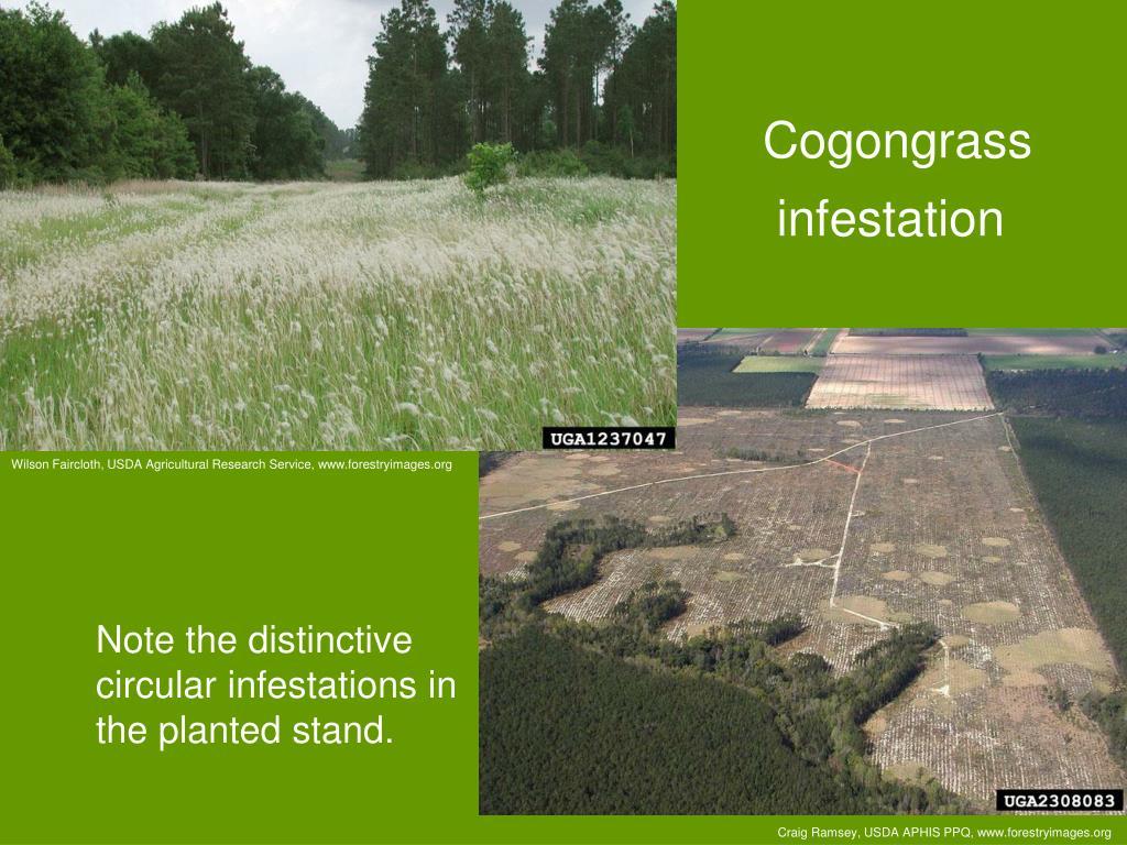 Cogongrass infestation