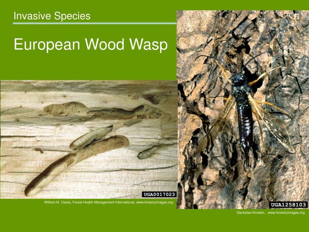 European Wood Wasp
