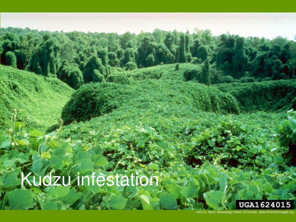 Kudzu infestation