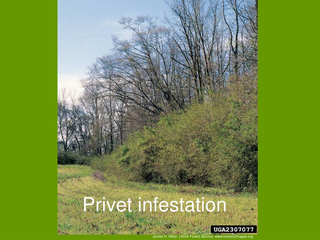 Privet infestation