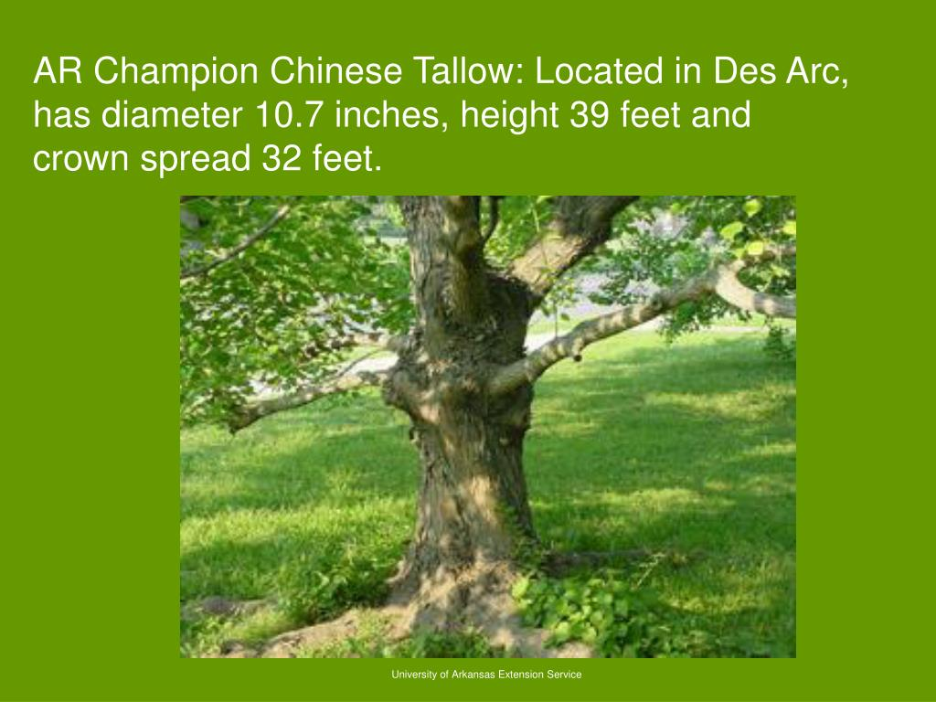 AR Champion Chinese Tallow: Located in Des Arc, has diameter 10.7 inches, height 39 feet and crown spread 32 feet.