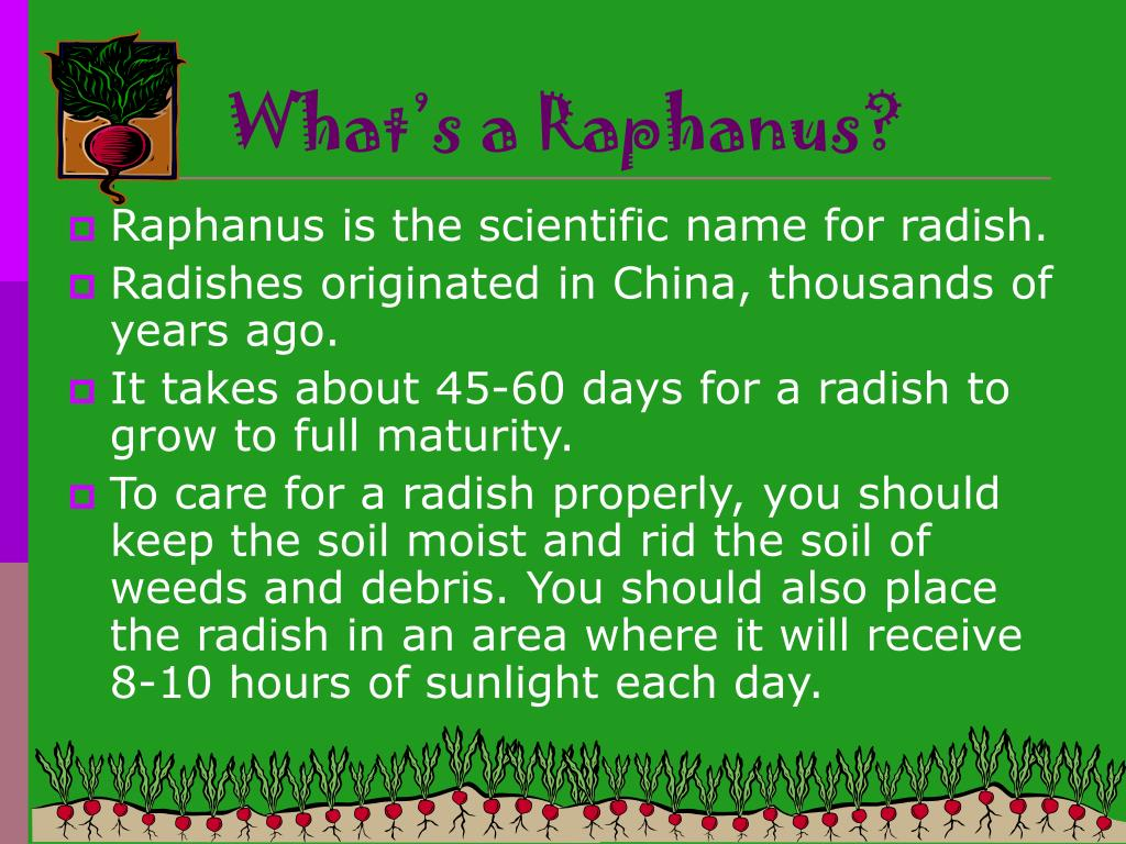 What's a Raphanus?