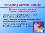harvesting garden produce