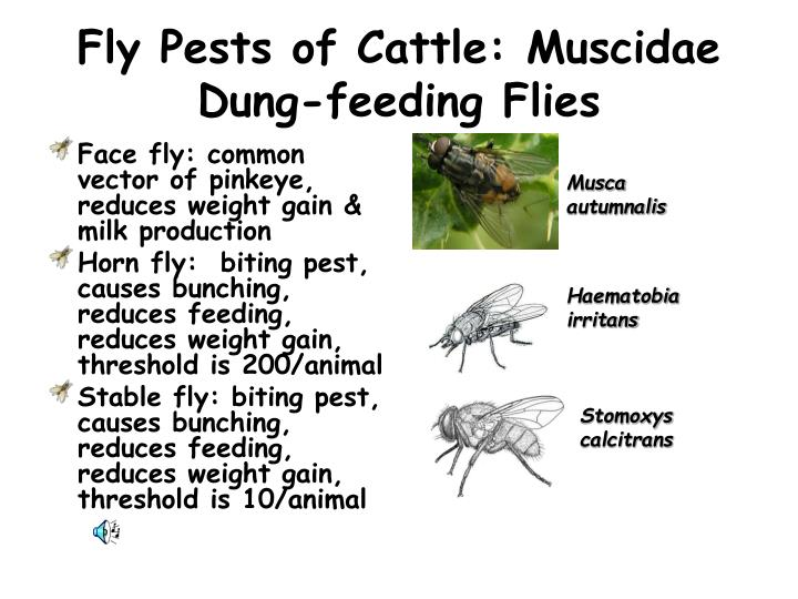 Fly pests of cattle muscidae dung feeding flies