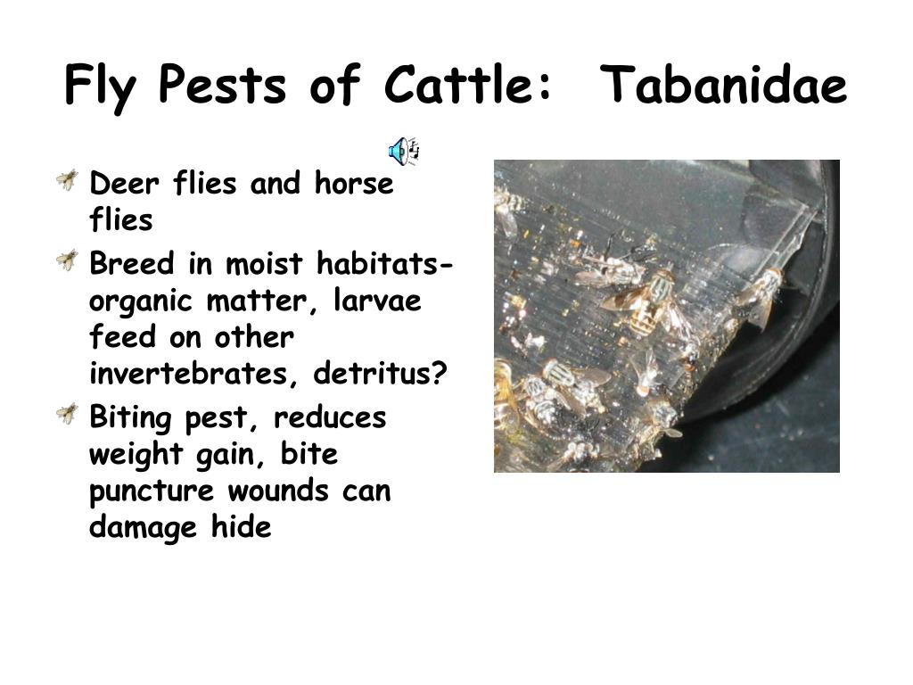 Fly Pests of Cattle:  Tabanidae