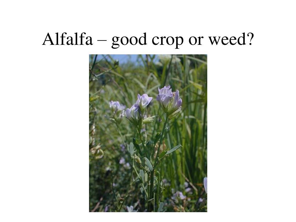 Alfalfa – good crop or weed?