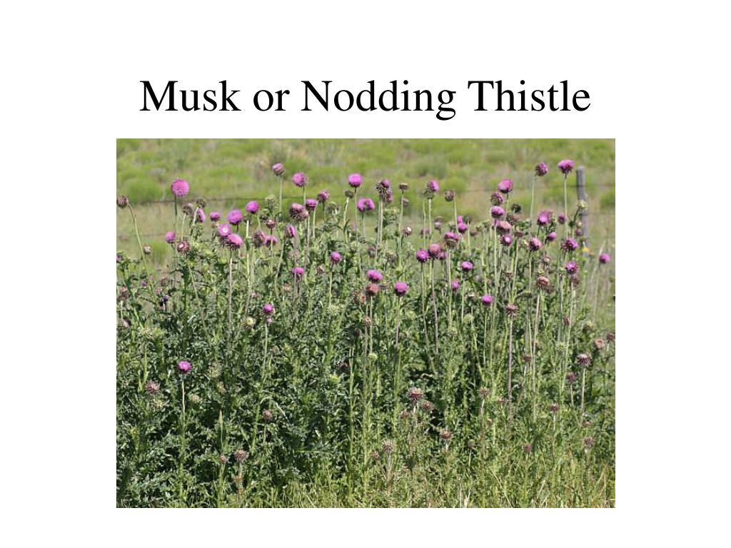 Musk or Nodding Thistle