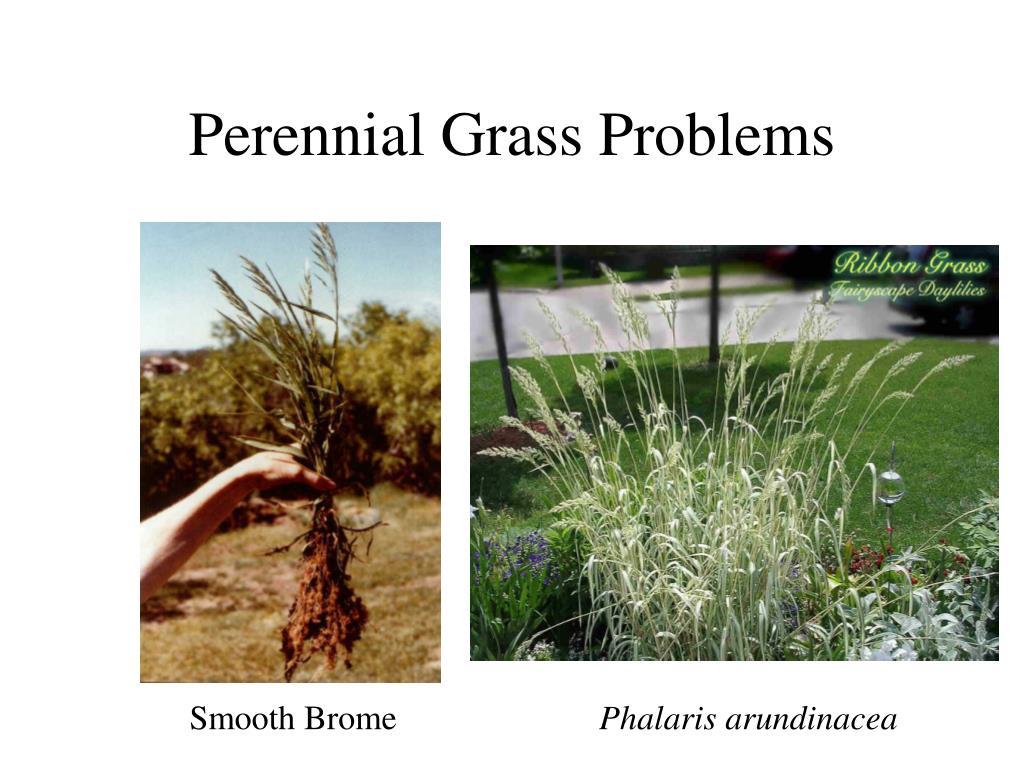 Perennial Grass Problems