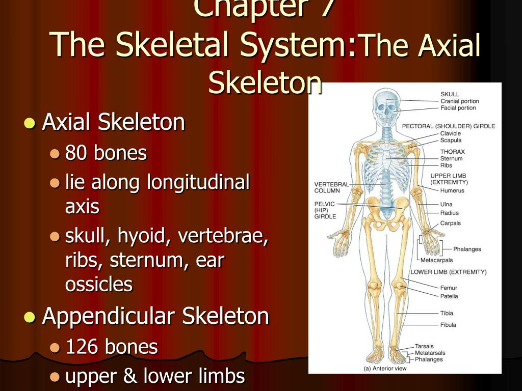 PPT - Chapter 7 The Skeletal System: The Axial Skeleton PowerPoint ...