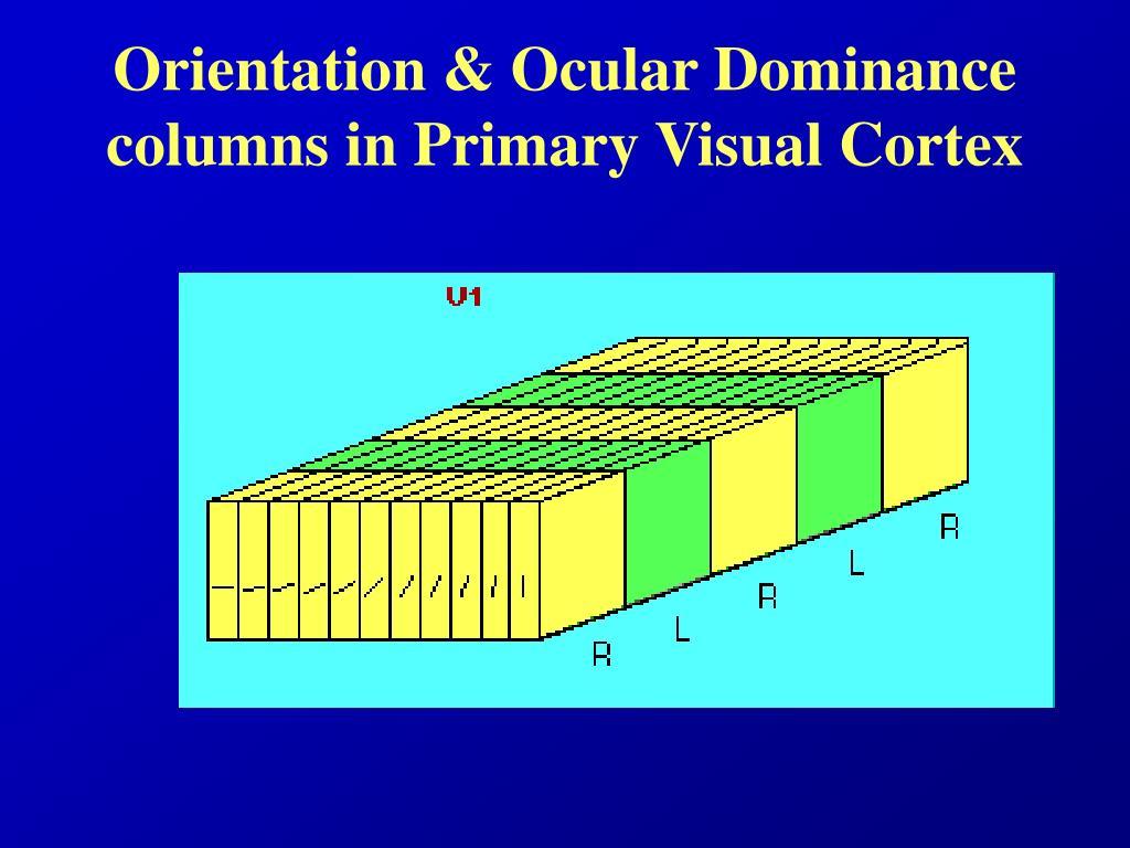 Orientation & Ocular Dominance columns in Primary Visual Cortex