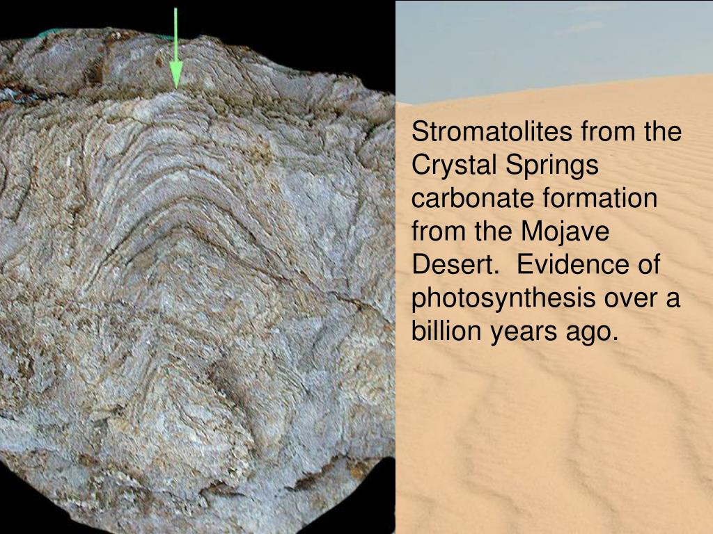 Stromatolites from the Crystal Springs carbonate formation from the Mojave Desert.  Evidence of photosynthesis over a billion years ago.