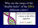 why are the rungs of the double helix of the dna different colors