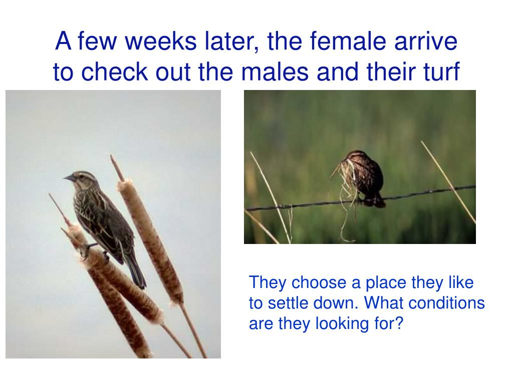 A few weeks later, the female arrive to check out the males and their turf