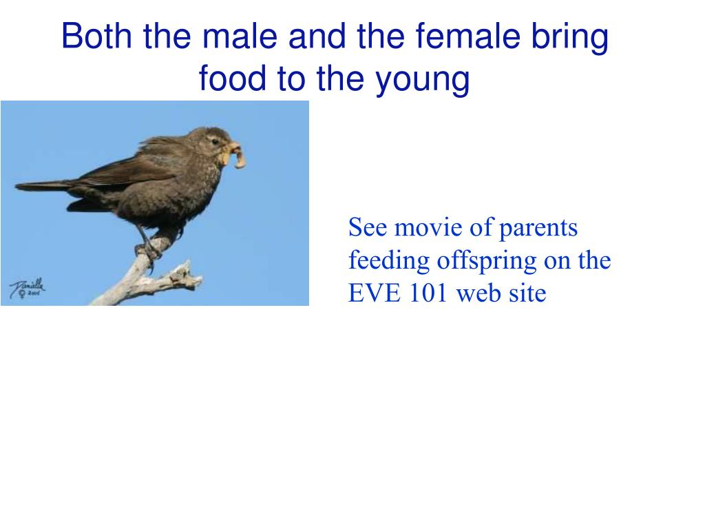 Both the male and the female bring food to the young