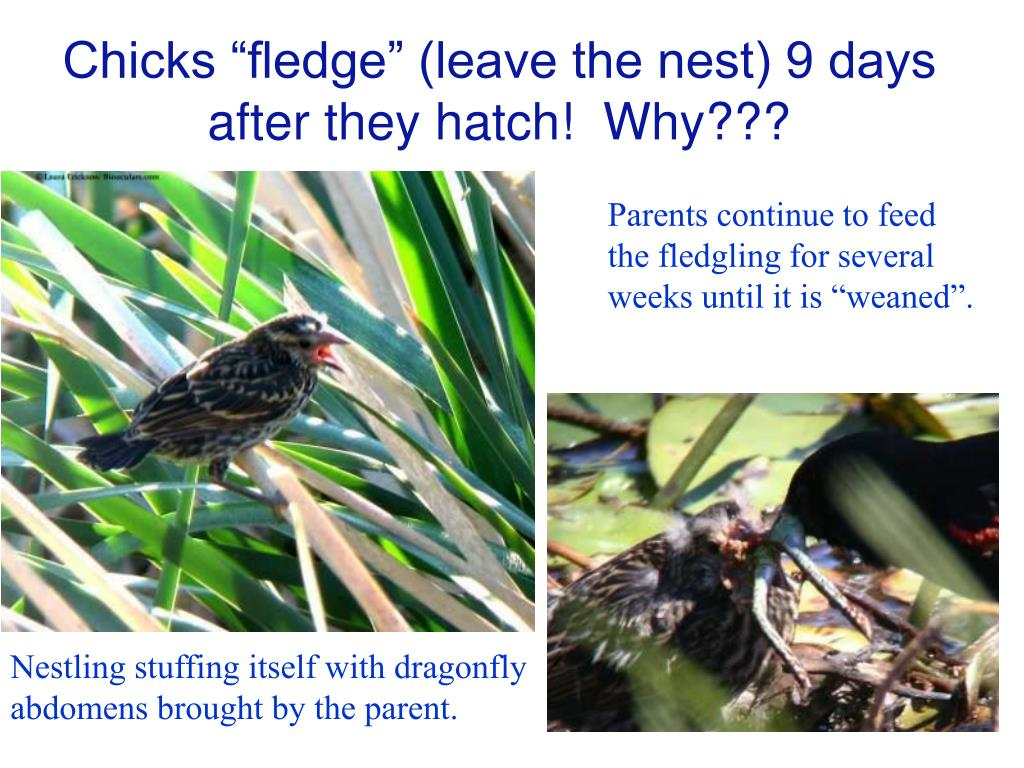 "Chicks ""fledge"" (leave the nest) 9 days after they hatch!  Why???"