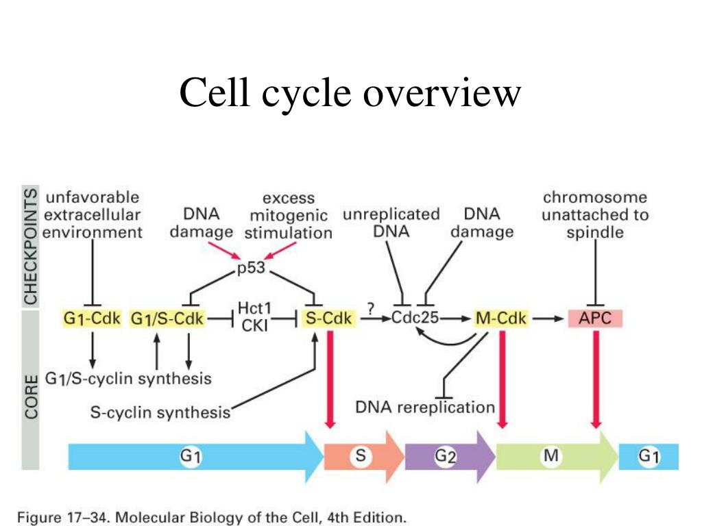 Cell cycle overview