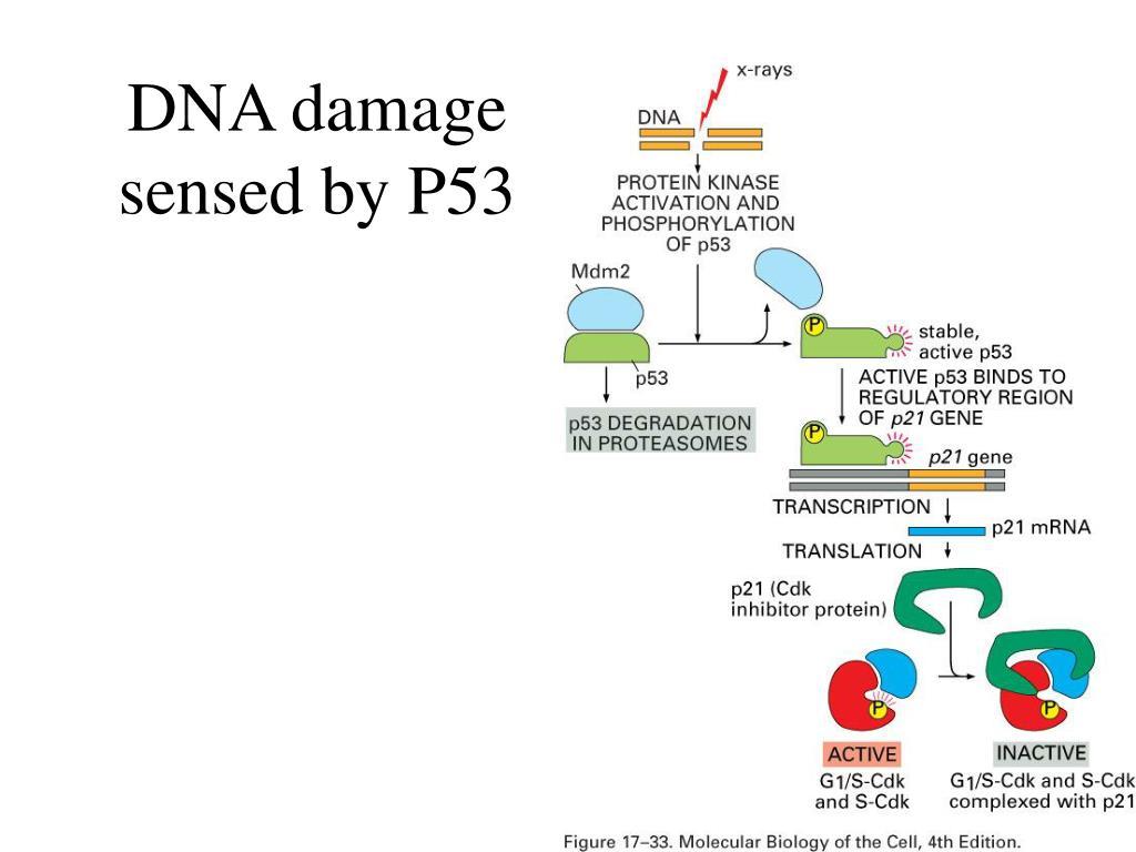 DNA damage sensed by P53