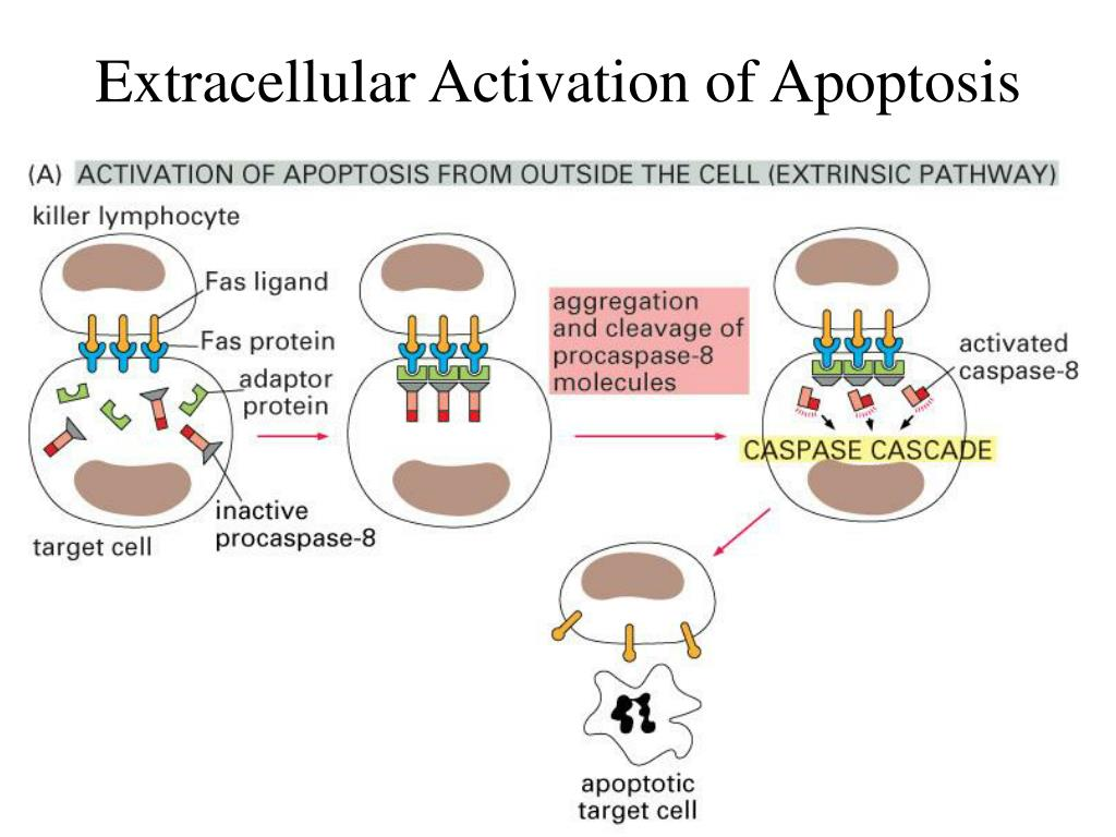 Extracellular Activation of Apoptosis