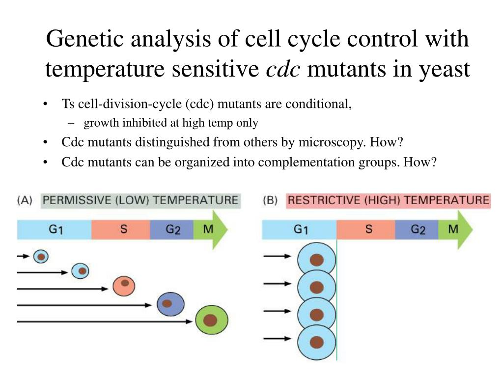 Genetic analysis of cell cycle control with temperature sensitive