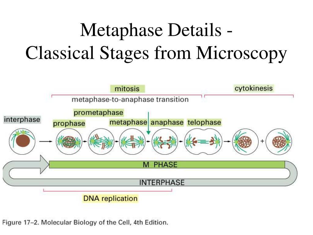 Metaphase Details -