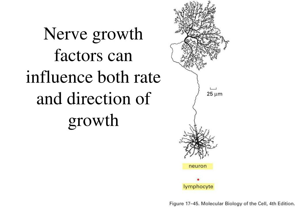 Nerve growth factors can influence both rate and direction of growth