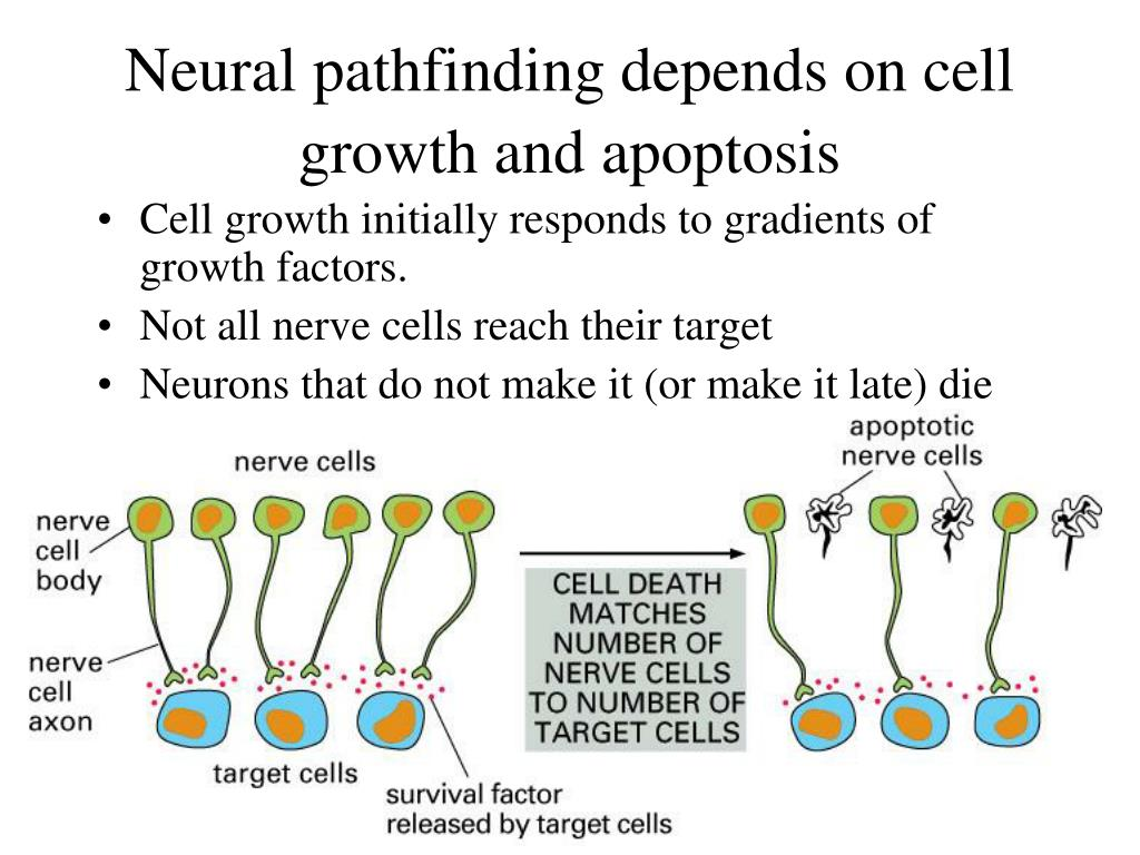 Neural pathfinding depends on cell growth and apoptosis