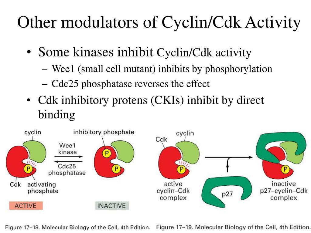 Other modulators of Cyclin/Cdk Activity