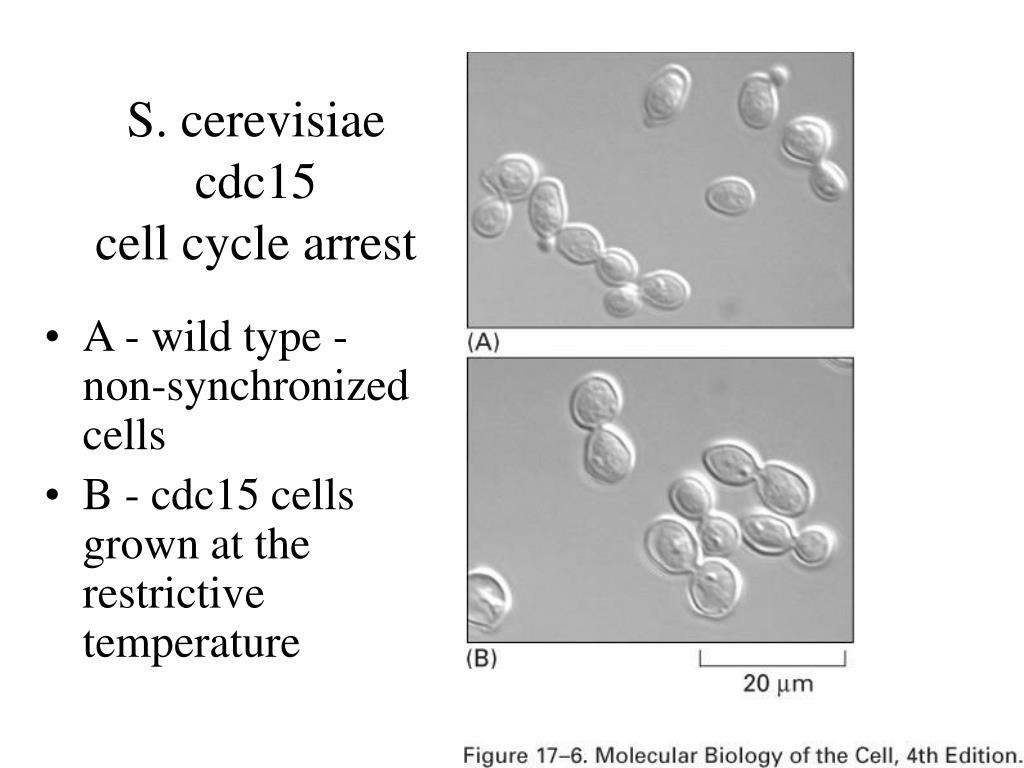 S. cerevisiae cdc15