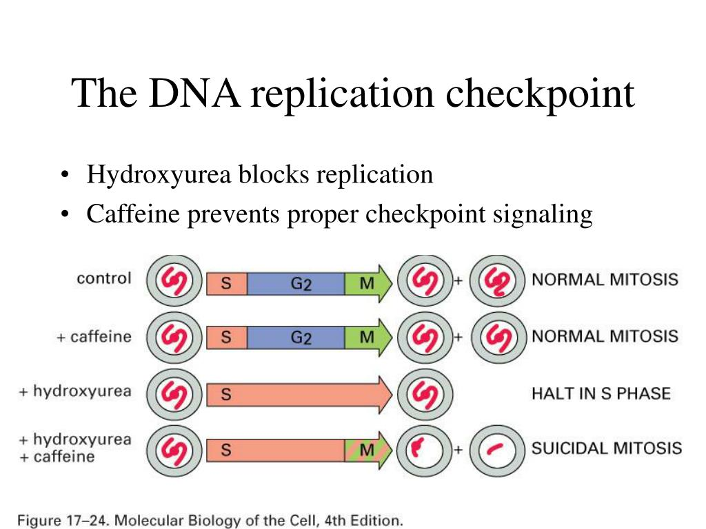 The DNA replication checkpoint