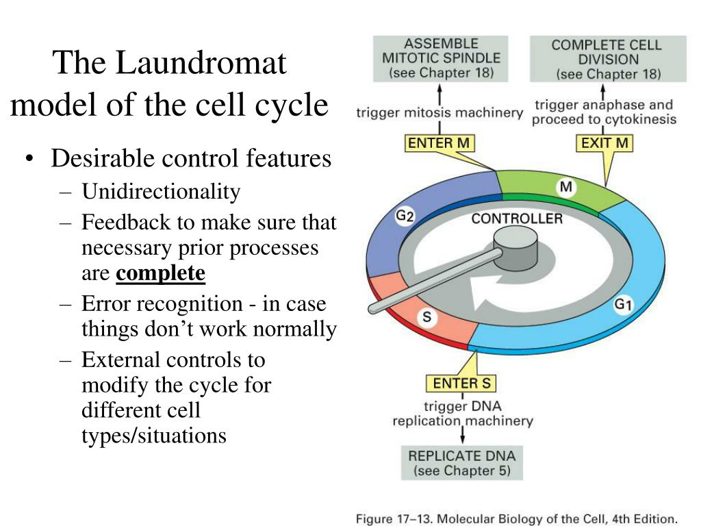 The Laundromat model of the cell cycle